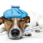 Перивулварен дерматит при кучето и котката. Хирургична реконструкция на вулвата .<br/> ( Vaginoplastika )